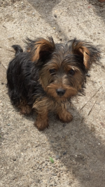 Lady the Yorkshire Terrier in Wexford for sale.