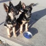 German shepherd puppies in Roscommon for sale.