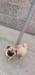 Pug puppies in Louth for sale.