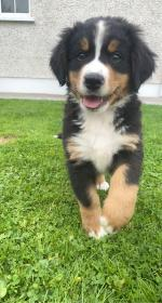 Bernese Mountain pups in Meath for sale.