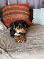 Terrier pup in Wexford for sale.