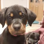 Purebred Rottweiler Simpsons in Clare - 2 Gone! for sale.