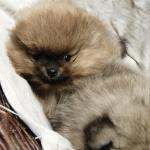 IKC Female Pomeranian puppy for sale.