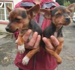 Russian Toy Terrier Jack Russell Cross for sale.