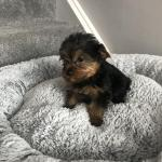 Yorkshire terrier pups in Meath for sale.