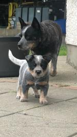 IKC Australian Cattle Dog in Louth for sale.