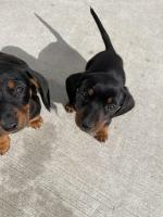 Dachshund puppies in Dublin for sale.