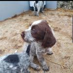 German Wire-haired Pointer for sale.