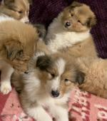 Rough Collies for sale.