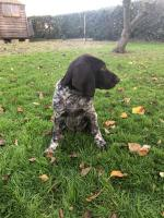 German Shorthair pointer puppies for sale.