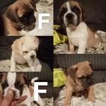 Frug (Puggle x French Bulldog) for sale.