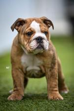 British bulldogs in Dublin for sale.