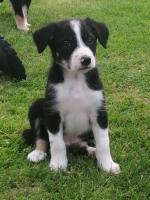 Collies in Wexford for sale.