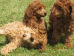 Mini Poodles for sale [sold].