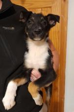 Border Collies for sale.