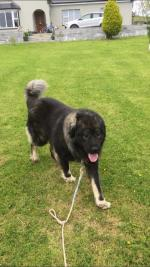 Cocco the Caucasian Shepherd Dog in Clare for sale.