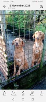 Labrador in Cavan for sale.