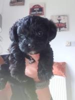 Yorshire Terrier Cross Cavachon for sale.
