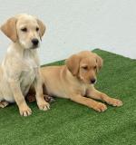 Labrador puppies in Cavan for sale.