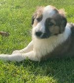 Collie pups in Wexford for sale.