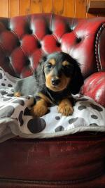 Mini long haired Dachshund for sale.