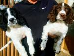 Springer Spaniel pups in Kerry for sale.