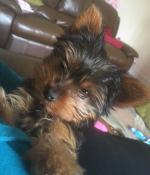 Yorkshire Terrier Female [sold].