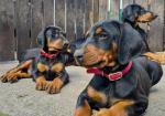 Doberman puppies for sale.