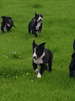 Kelpie/Collie pups in Carlow for sale.