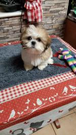 Shih tzus puppies in Galway for sale.