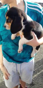 Beagles in Galway for sale.