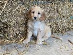 Golden Doodle Puppies (Golden Retriever X Miniature Poodle) for sale.