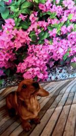 Mini dachshund puppies for sale.