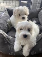 Coton de Tulear x Bichon Puppies for sale.
