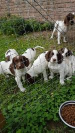 2 male Springer spaniel pups in Louth for sale.
