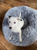 Jack Russell terriers in Cork for sale.