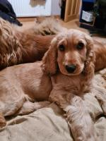 IKC Golden English Cocker Spaniels for sale.
