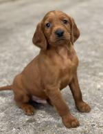 Gorgeous Irish Red Setter Pups for sale.