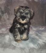 Miniature Schnauzer puppies in Limerick for sale.