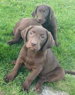 IKC Chocolate Labrador Puppies (Parents eye tested) for sale.