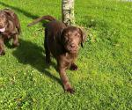 IKC Chocolate Labrador Puppies (Parents Eye Tested) for Sale for sale.