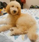 Stunning last little male poodle puppy for sale.