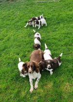 Springer Spaniel puppies in Kerry for sale.