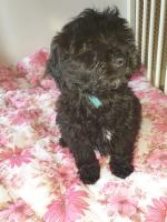Male Poodle x Coton in Dublin for sale.