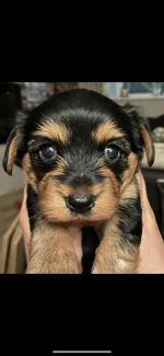 Yorkichon Puppy in Dublin for sale.