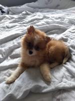 Female Pomeranian puppy in Kildare for sale.