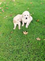 Golden retriever puppies in Cavan for sale.