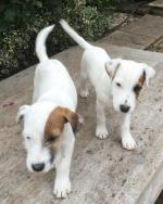 Parsons Terriers for sale.