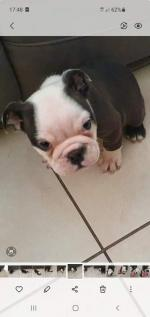 Olde English Bulldog puppies 2 females left for sale.