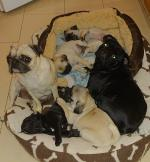 2 Fawn Pug Pups in Kerry for sale.
